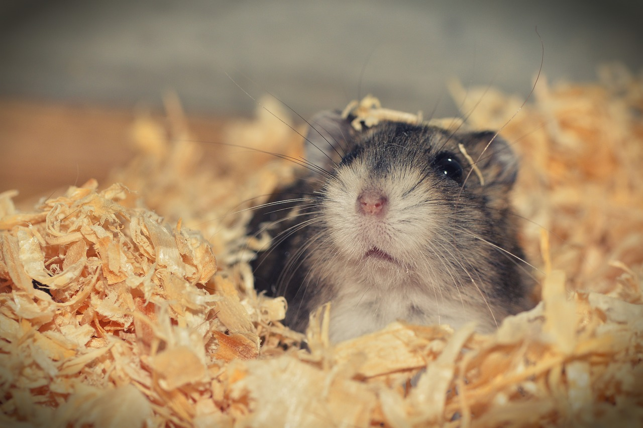 Le hamster est-il un bon animal de compagnie?