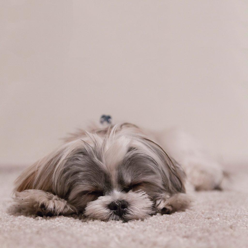 Chien-qui-fait-la-sieste